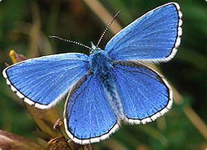 Adonis Blue butterfly by Jim Asher